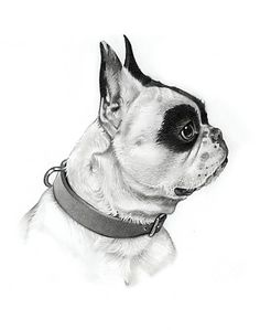 Michele Amatrula Pet Portraits − Pencil portrait of Buxton Pied French Bulldog, French Bulldogs, Shiloh Dog, French Bulldog Clothes, Dog Logo, Happy Dogs, Four Legged, Pet Portraits, Boston Terrier