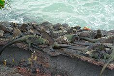 Marine Iguanas - zee leguanen | Flickr - Photo Sharing!
