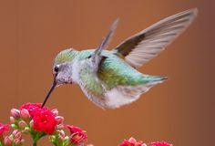 Annas Hummingbird (Calypte anna) | juvethski | Flickr