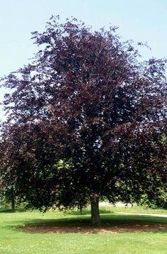 RHS Plant Selector Fagus sylvatica Atropurpurea Group / RHS Gardening