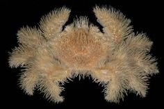 The hairy crab, a.k.a. the yeti crab (Kiwa hirsuta)