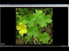 Oxalis stricta   Yellow Woodsorrel (Pt 1 of 2)http://profile.yahoo.com/PG4XU2JQCHP57ULB6RF2HWUXPI/  http://zacariashnhorticura.wordpress.com/  https://twitter.com/zacariashnhorti  https://www.facebook.com/horticurazacarias?ref=hl  https://plus.google.com/b/103165880821993369347/103165880821993369347/about