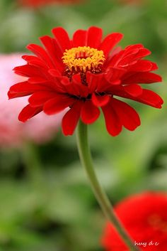 Red zinnia flower these are great flowers. Cut and put in a vase. Last a long time