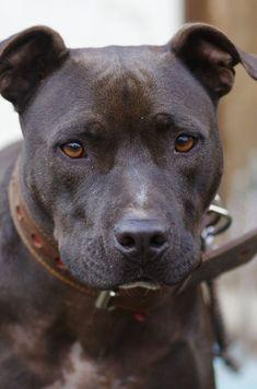 American Pit Bull Terrier Merry♀ Age:2 #PitBull