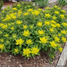 Sometimes called cushion spurge, this plant produces tidy mounds of light green leaves that are covered with pretty yellow flowers in summer. Also known as Euphorbia, this charming ground cover is extremely drought tolerant. It's deer resistant and is easy to grow.  (Euphorbia polychroma)