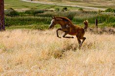 jumping arabian foal
