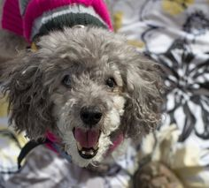 Meet Fifi, the happiest little adoptable dog whose sight was restored! Find her at Muttville! #BayArea