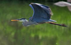 Great Blue Heron. I once swam around a bend in the river and almost collided with one.I don't know which one of us let out a louder yelp.