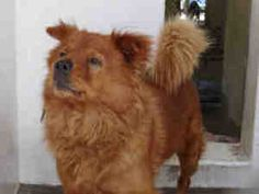 A4457776 CARSON SHELTER is an adoptable Chow Chow Dog in Gardena, CA. Woof! THIS DOG IS CURRENTLY AT THE CARS0N ANIMAL SHELTER. To obtain further information on this pet, call the shelter directly at ...