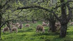 Sheep pasture FAQ