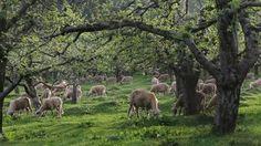 Sheep pasture FAQ