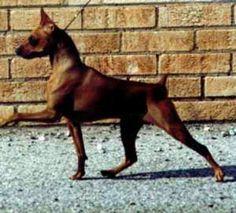 Miniature Pinscher / zwergpinscher / min-pin / King of the Toys Mini Pinscher, Miniature Pinscher, Doberman Pinscher, Large Dogs, Small Dogs, Pincher Dog, Types Of Cats, What Dogs, Dog Socks