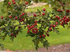 080614 Hawthorns (Crataegus) ~ Crataegus monogyna - Hawthorn/May berries.