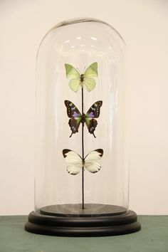 Glass dome with three butterflies Faberge Eggs, Glass Domes, Coups, Butterflies, Insects, Clip Art, Vase, Crafty, Butterfly