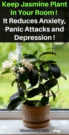 Keep Jasmine Plant in Your Room. It Reduces Anxiety, Panic Attacks and Depressio… - Healthy Plants Flat Lay Fotografie, Jasmine Plant, Little Presents, Thinking Day, Linen Spray, How To Remove, How To Make, Aquaponics, House Plants