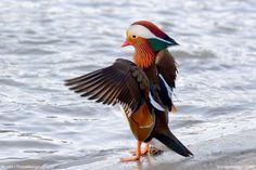The Mandarin Duck