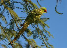 Rose-ringed parakeet by blue_iris via http://ift.tt/2qLAilk