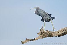 mis fotos de aves: Egretta caerulea Garza azul Little blue heron