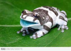 Baby Amazon Milk Frog