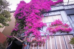 Bougainvilleas on Lombard Street, San Francisco. Download here.