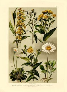 Antique 1892 Victorian Era German Engraved Botanical Chromolithograph, Daisies and Wildflowers, Pl 31 | PetitPoulailler - Antiques on ArtFire