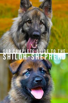 Our complete guide to the Shiloh Shepherd - Dog breed review