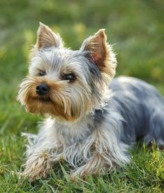 10 Cool Facts About Yorkshire Terriers #yorkshireterrier #yorkshireterrierpuppy #yorkshireterrierfacts