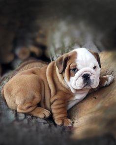 Qu'y a-t-il de plus mignon qu'un chiot ? - le bouledogue  anglais  #puppy