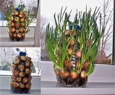 Growing onions vertically on the window sill - up-cycling plastic jugs and bottles Indoor Vegetable Gardening, Organic Gardening, Container Gardening, Garden Plants, Indoor Plants, Gardening Tips, Herb Garden, Texas Gardening, Potager Garden