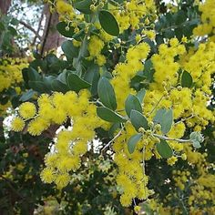 Acacia Podalyriifolia Smsll graceful tree,grows to 5m high and 5m across. Ideal as a hedge or screening plant as it can become quite dense