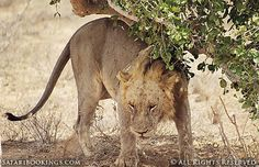 Male #lion after having fed on a carcass @ Tsavo East National Park in #Kenya.