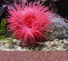 anémone de mer | Anémone de mer ( Actinie ) / Actinia - animaux-animal : LE blog pour ...