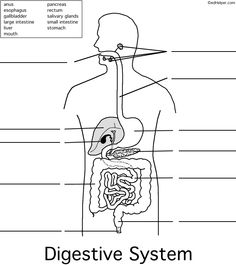 Digestive System Worksheets #1