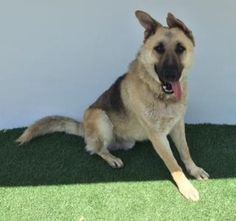 A175485 is a German Shepherd mix. SUPER URGENT! At Tulare County Animal Services, Visalia,CA. one of the highest kill rate shelters in the United States at 70-75% for dogs.