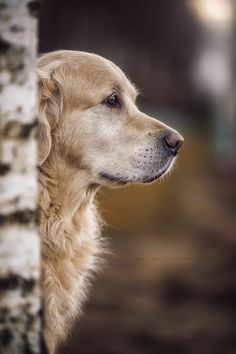 Regal beautiful Golden Retriever