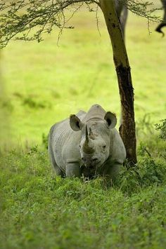 Africa | Black rhino, extremely endangered, Lake Nakuru National Park, Kenya