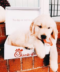 Golden retriever and chick fil a Cute Baby Animals, Animals And Pets, Funny Animals, Cute Dogs And Puppies, I Love Dogs, Doggies, Cute Creatures, Vsco, Fur Babies