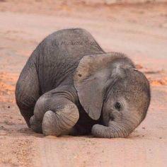"""#saveelephants #saveourplanet #behuman From @especiallyafrica #blackjaguarwhitetiger"" Photo taken by @blackjaguarwhitetiger on Instagram, pinned via the InstaPin iOS App! http://www.instapinapp.com (04/24/2015)"