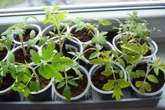 How to grow tomato plants from seeds and when is the right time to transplant them to an outdoor garden. Growing Tomatoes From Seed, Growing Tomato Plants, Varieties Of Tomatoes, Growing Seeds, Tomato Seeds, Tomato Garden, Green Tomatoes, Seed Packets, Sun Dried