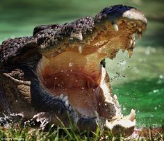 A 19-year-old man has survived a crocodile attack in the Northern Territory after he was dragged from his tent on a family camping trip. Above is a stock image