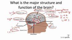 57 best brain parts \u0026 function images neuroscience, brain gym