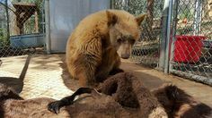 A three-legged one year old black bear cub at the Fund for Animals Wildlife Center in Ramona, CA investigates a donated bison hide. PHOTO: Fund for Animals Wildlife Center