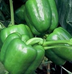 Pase Seeds - Pepper Seed - Sweet Colossal Seeds, $8.99 (http://www.paseseeds.com/pepper-seed-sweet-colossal-seeds/)