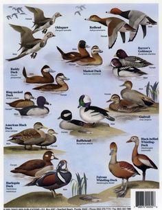 Duck Identification Chart | Duck Identification Chart