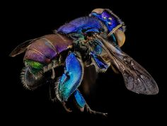 Orchid bee (Euglossa) -- 7 beautiful bee species in honor of Pollinator Week : TreeHugger - http://www.treehugger.com/slideshows/endangered-species/7-beautiful-bee-species-honor-pollinator-week/