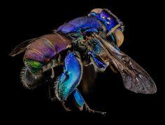 7 beautiful bee species in honor of Pollinator Week