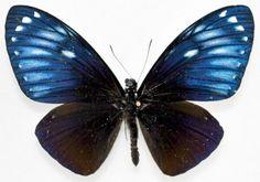 Chilasa paradoxa niasicus