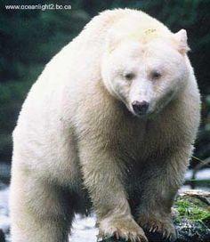 Yes, there is another white bear.The Kermode Bear. It's not a polar bear but in… Animal Spirit Guides, Spirit Animal, Bear Pictures, Animal Pictures, Touching Spirit Bear, American Black Bear, Love Bear, Big Bear, Animal Totems