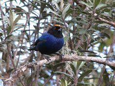 EJE CAFETERO - AVES DE CALDAS - BIRDS OF CALDAS -COLOMBIA: AVES DEL PÁRAMO