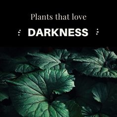 We all know the same thing, the dark corner of the home where nothing green can grow! But maybe we really just do not know what to place over there to be able to grow. That is why we have made a small 10 plant guide for you. 10 plants that can grow in the darker rooms / corners / corners of the home. 10 plants that give you an excuse to buy even more plants. - Enjoy Plant Guide, Room Corner, That's Love, Rum, The Darkest, Planters, Green, How To Make, Rome